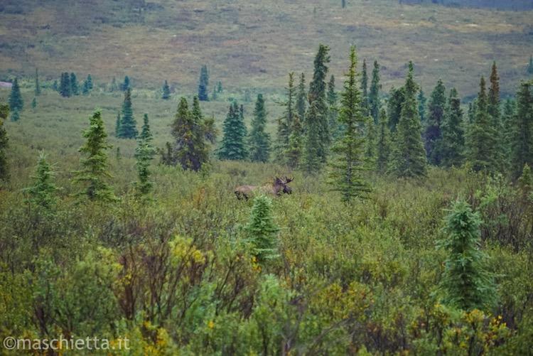 Alce maschio al Denali National Park Alaska