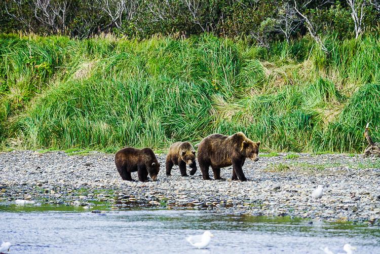 Cuccioli di orsi con la loro mamma al Katmai NP, Alaska
