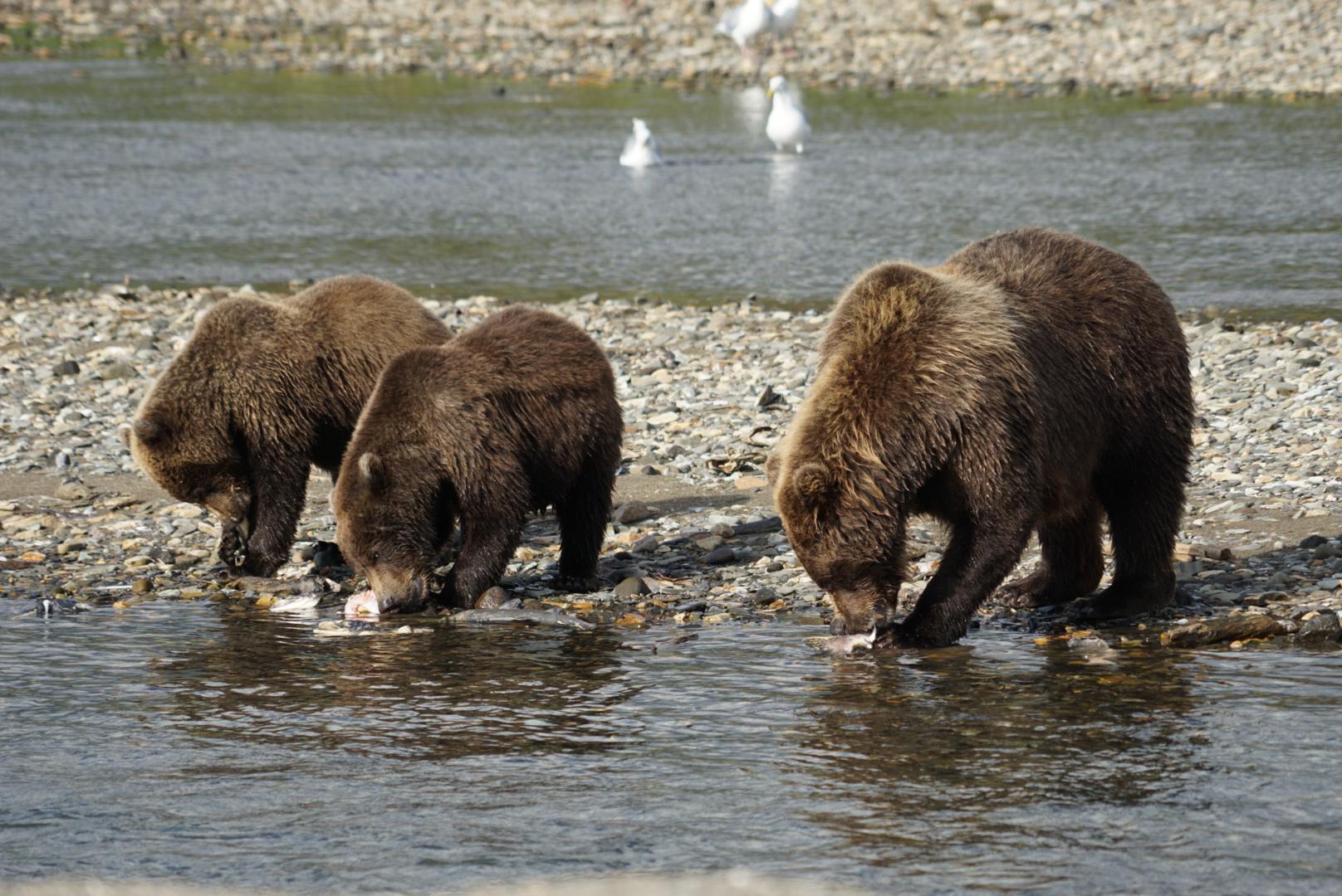 Mamma orsa con i suoi cuccioli al Katmai NP