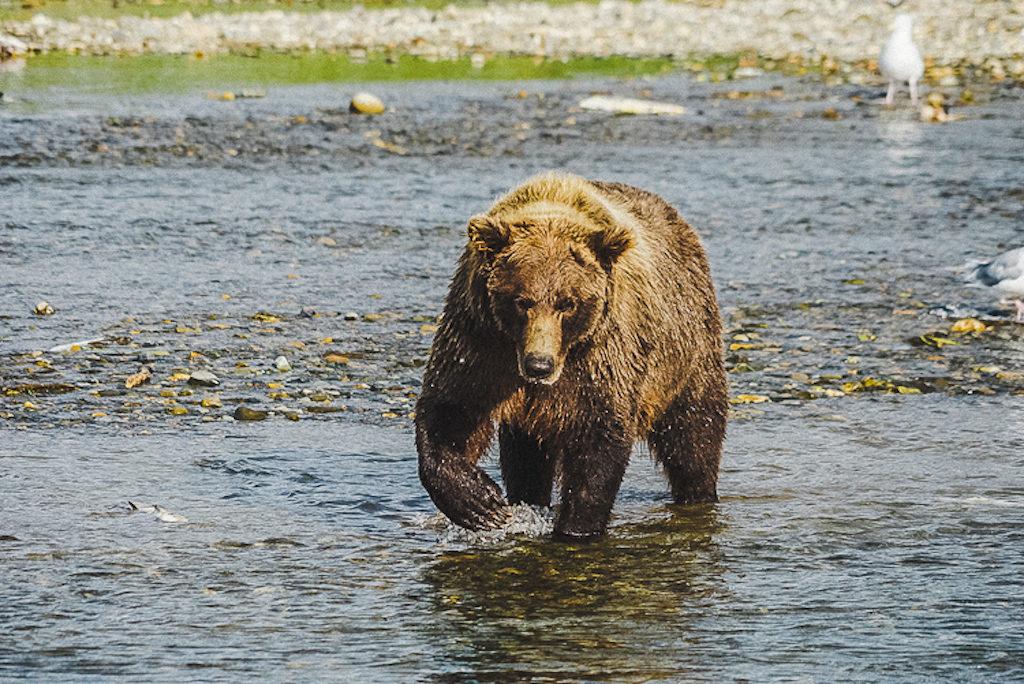 Un grande orso bruno a caccia di salmoni al Katmai National Park & Preserve, Alaska