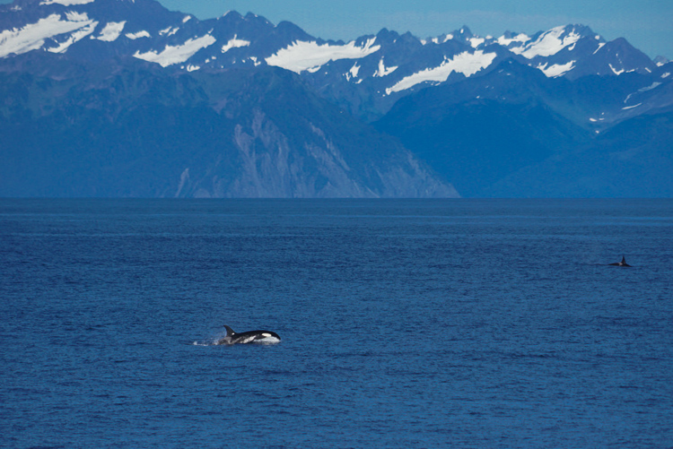 Orche a Seward, Alaska
