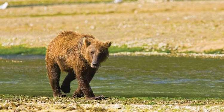 Orso bruno in Alaska