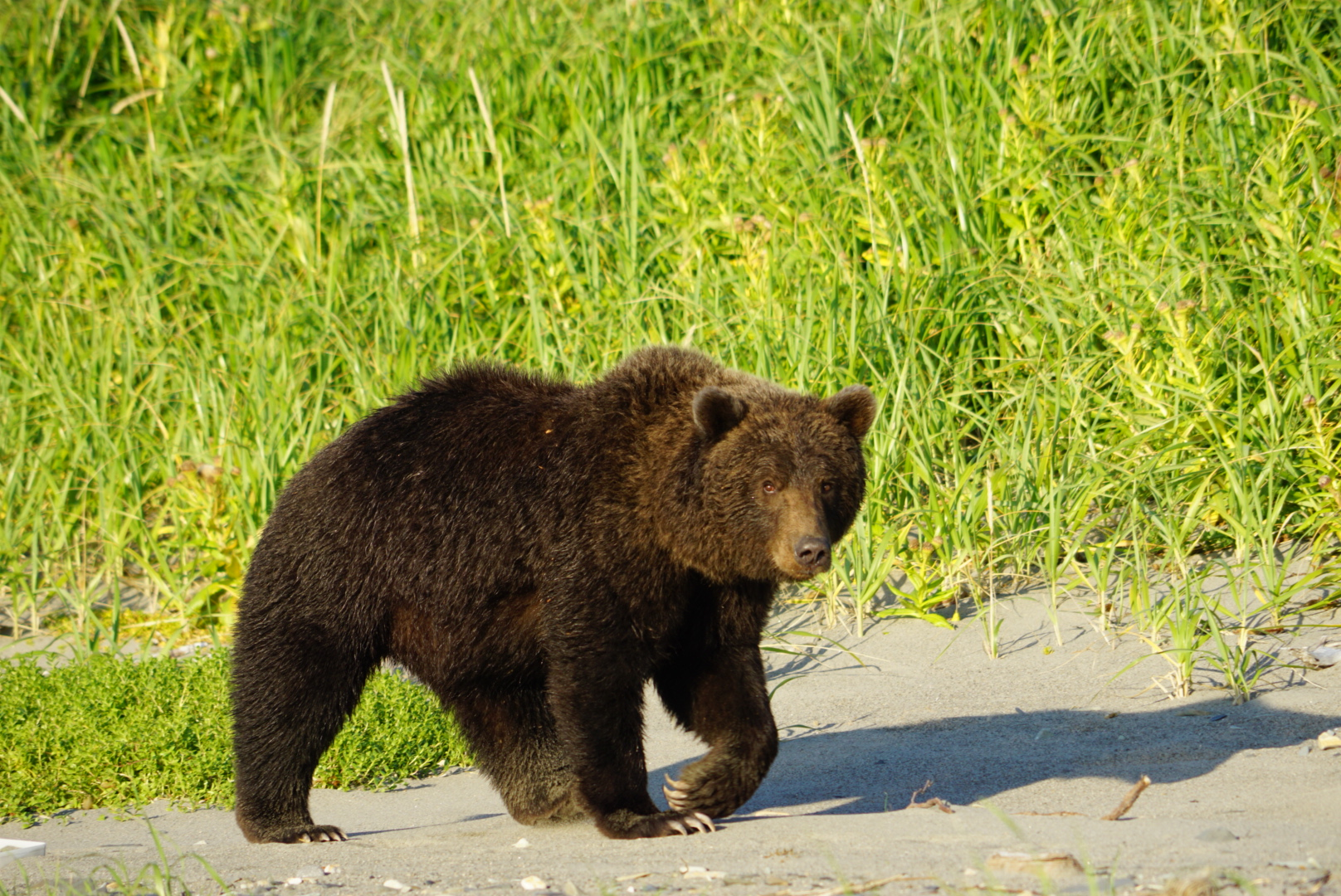 orso al Katmai National Park