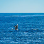Orca a Seward, Alaska