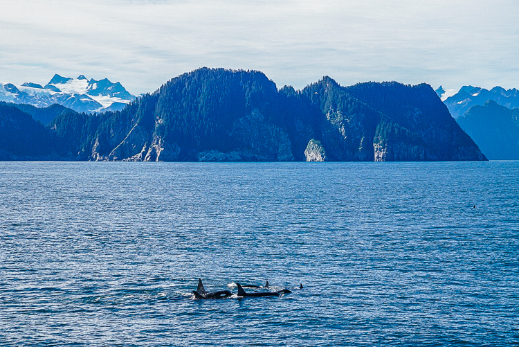 Orche nella baia di Seward, Alaska
