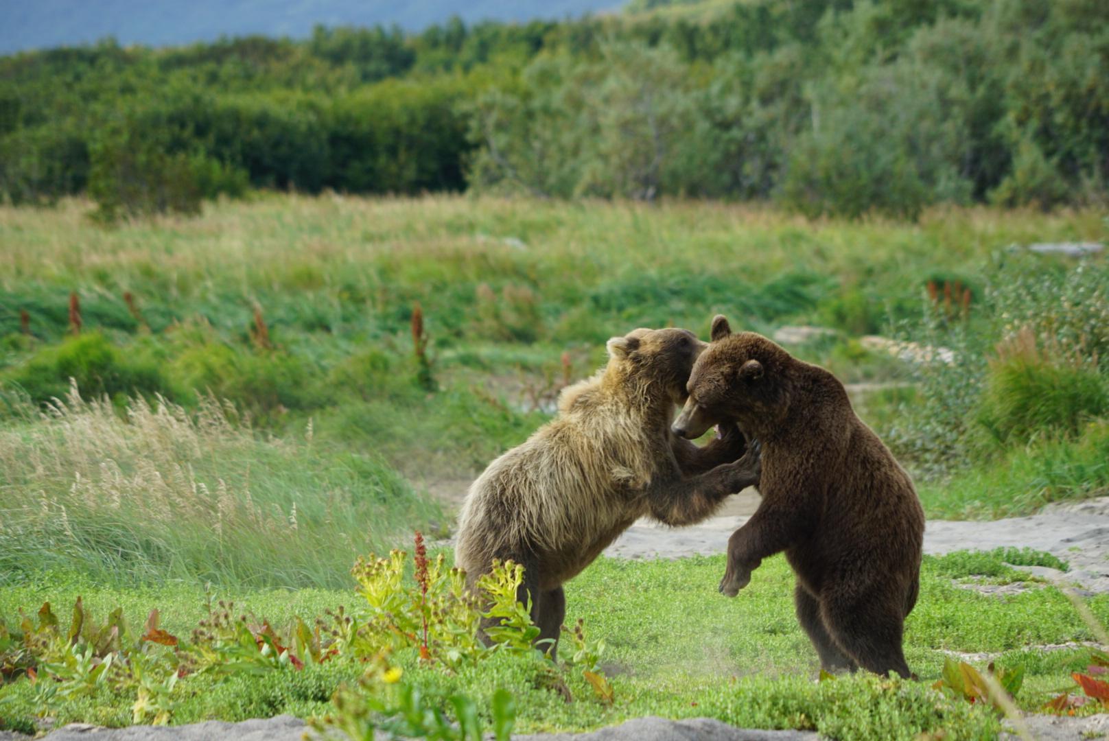 Gioco tra orsi al Katmai National Park