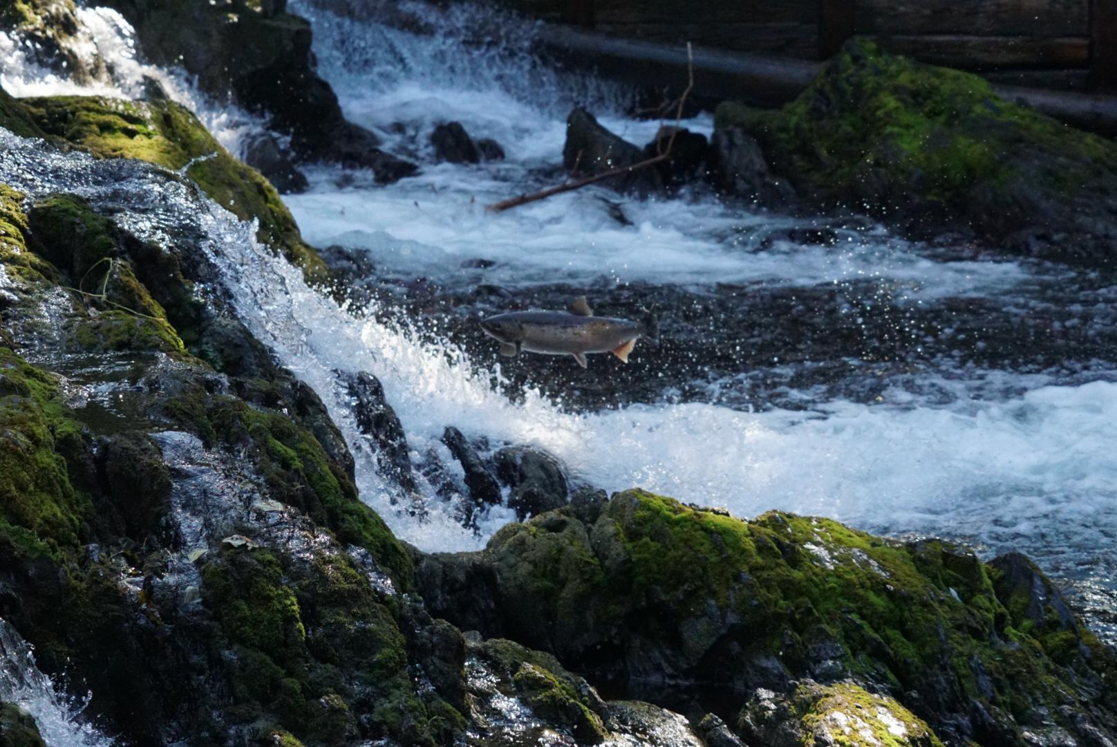 Salmone che risale la corrente, Alaska