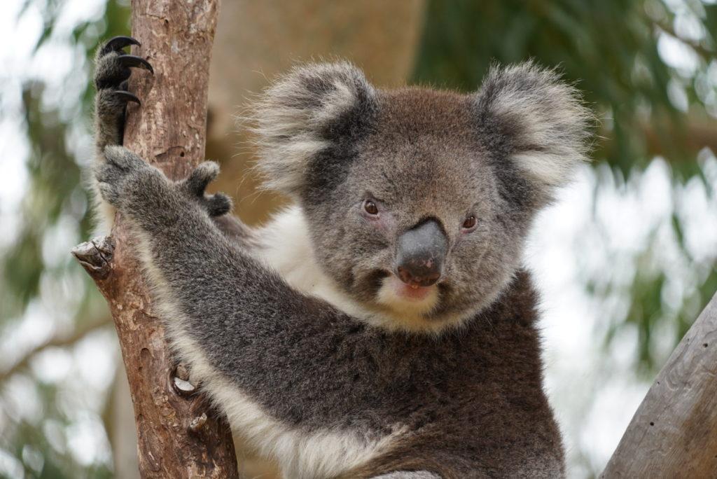 Koala allo Yanchep National Park, Western Australia