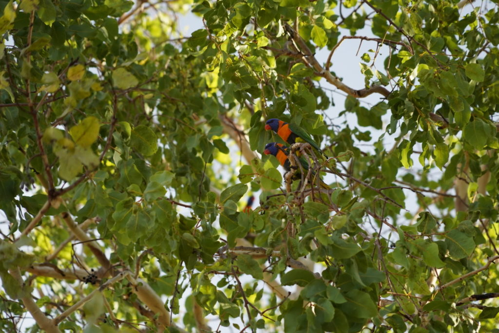 Pappagalli australiani nel Northern Territory