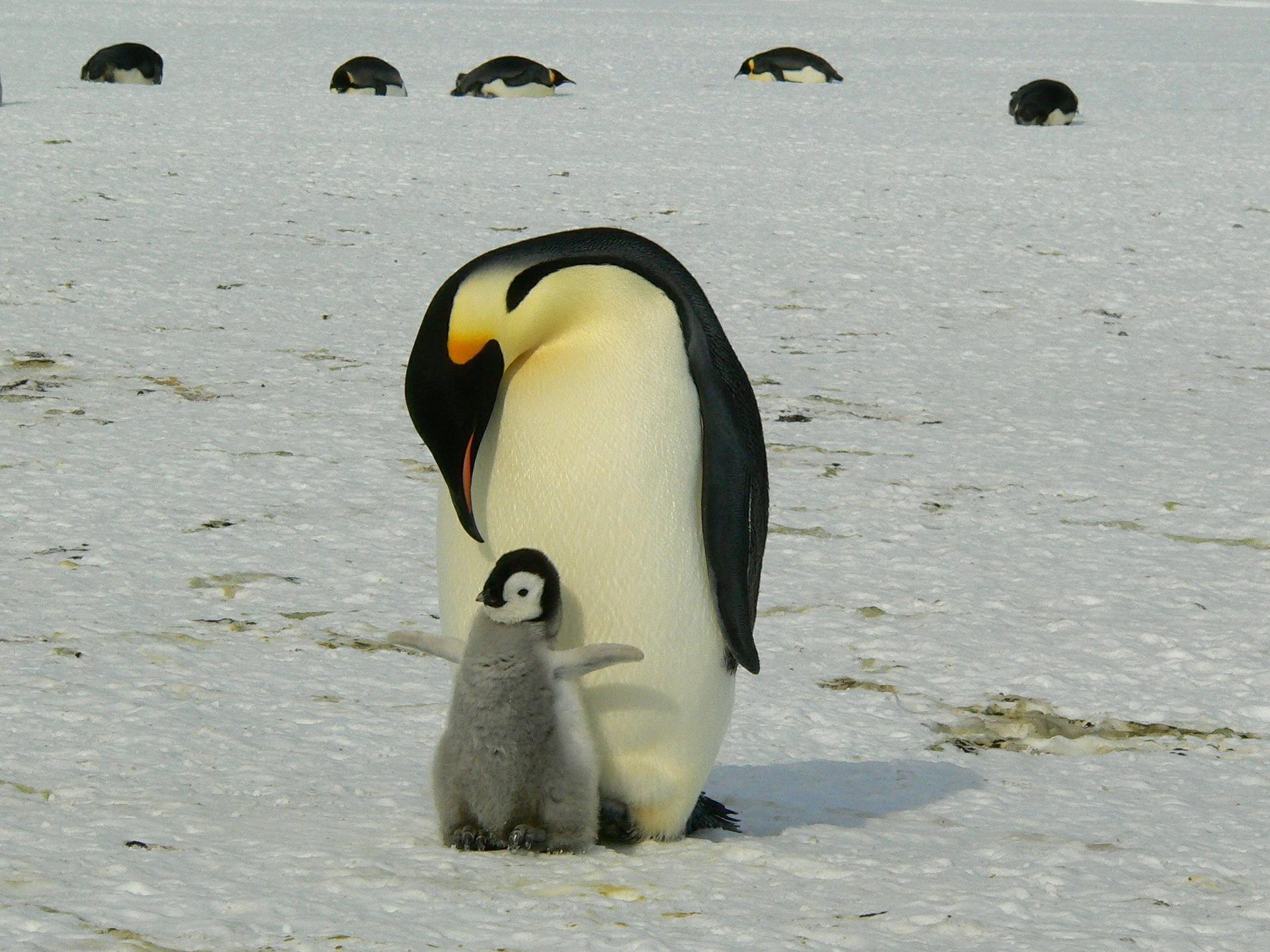 mamma pinguino